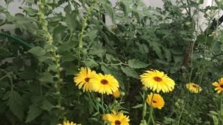 Холодное лето , а на огороде всё растёт ( Подмосковье) 23 июня