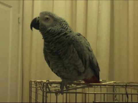 Perroquet Qui Parle 150 Phrases Avec Une Voix Quasi Humaine Version 2010 Youtube