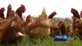 Iowa egg producer not overly worried by bird flu
