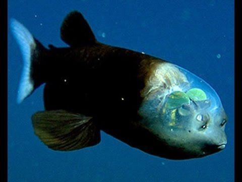 Facts: The Barreleye Fish (Spook Fish)