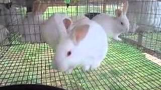 Homestead Rabbits:  New Zealand Update