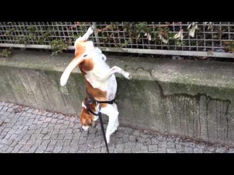 Hund pinkelt im Handstand