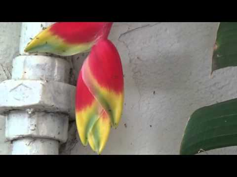 Flower Of Hanging Lobster Claw Or False Bird Of Paradise Or Heliconia Rostrata Amazing Flowers Youtube