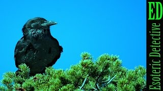 New Research now shows CROWS AND RAVENS are just as SMART AS APES