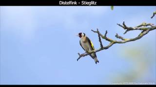 Distelfink / Stieglitz mit Gesang - European goldfinch singing - Carduelis carduelis (1080p HD)