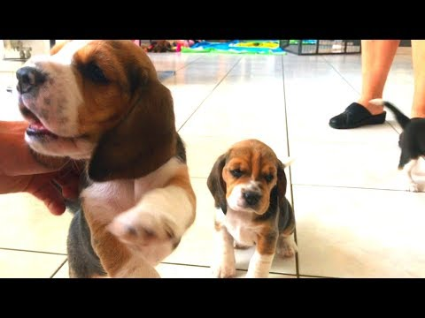 Newborn Beagle Puppies! Cute and derpy playing beagle puppies.