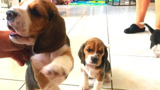 3 Week Old Beagle Puppies! Louie The Beagle's Baby Sister Is Born!