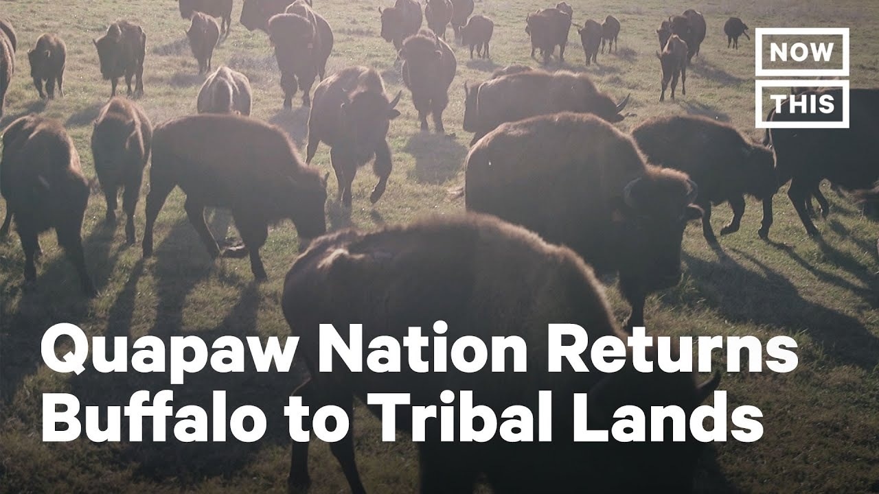 How Bison Restoration Seeks to Heal the Quapaw Nation | NowThis