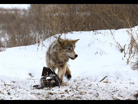 Капканы на волка своими руками