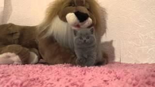 Британский короткошерстный котенок голубого окраса