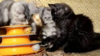Котята мейн-кун 3 месяца