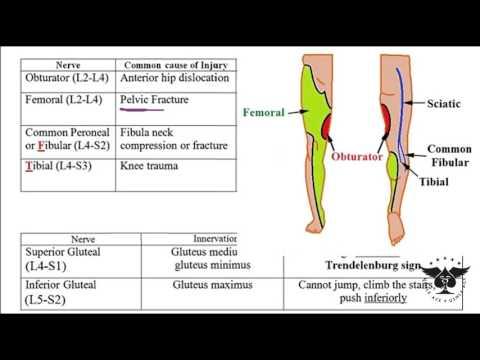 230 - Lumbosacral plexus (femoral , obturator, gluteal, peroneal, ... - USMLE STEP 1 - USMLE ACE