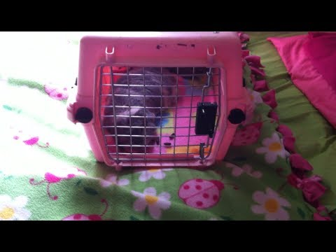 Guinea Pigs - Cage Cleaning Question?