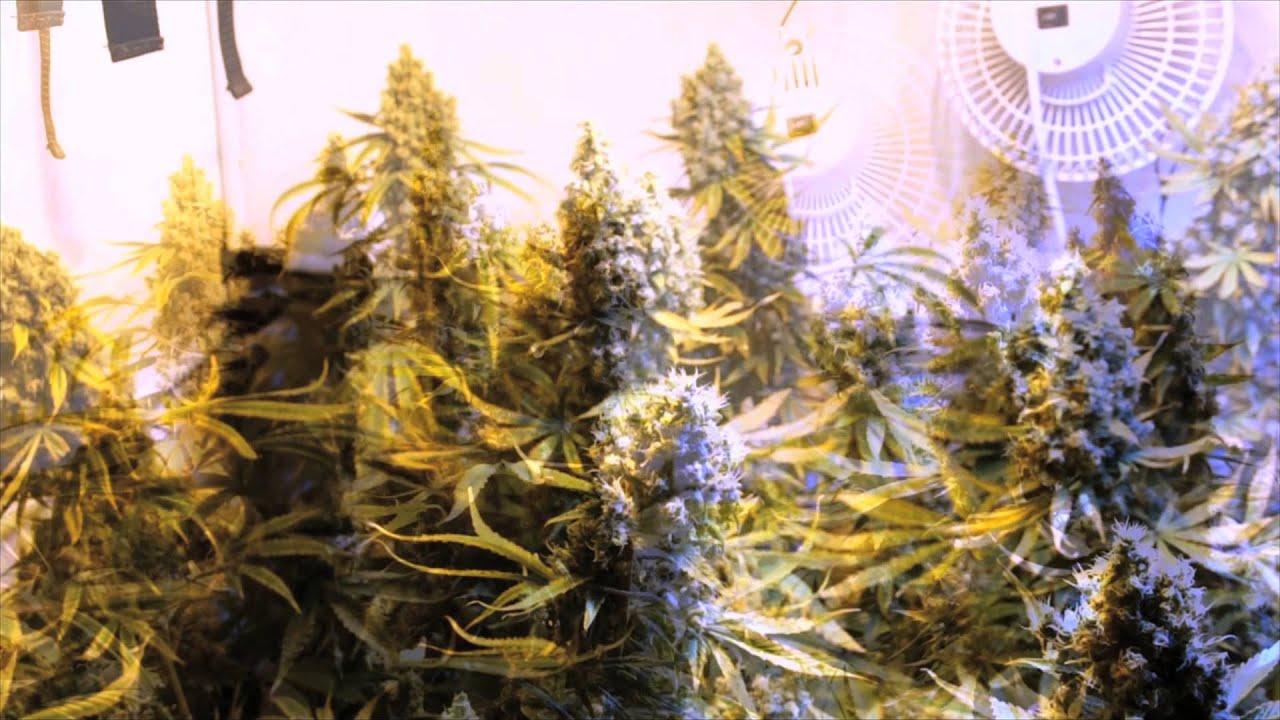 Grow cannabis hid lep comparison by jorge cervantes for Croissance cannabis interieur