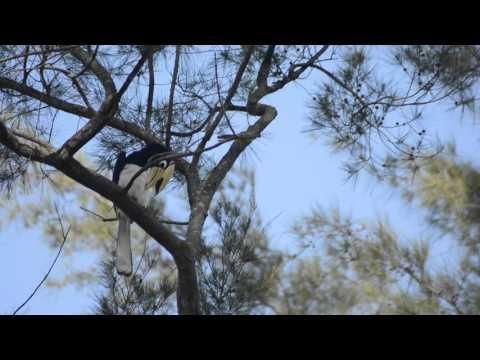 Oriental Pied Hornbill Nest Tg Aru Beach
