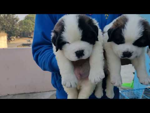 Saint Bernard and French Mastiff Puppy available.. Doggyz World