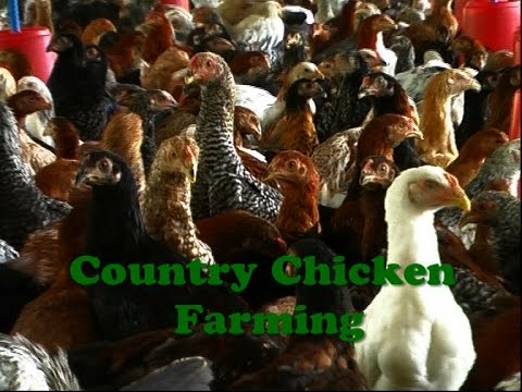 Country Chicken Farming