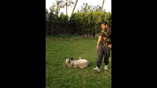 Dog Training In Egypt At A.r Kennel 01064288247