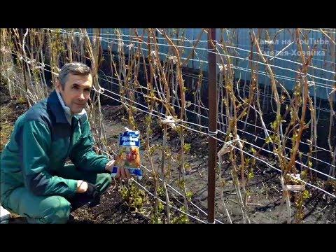 Как ухаживать за малиной весной чтобы был хороший урожай видео