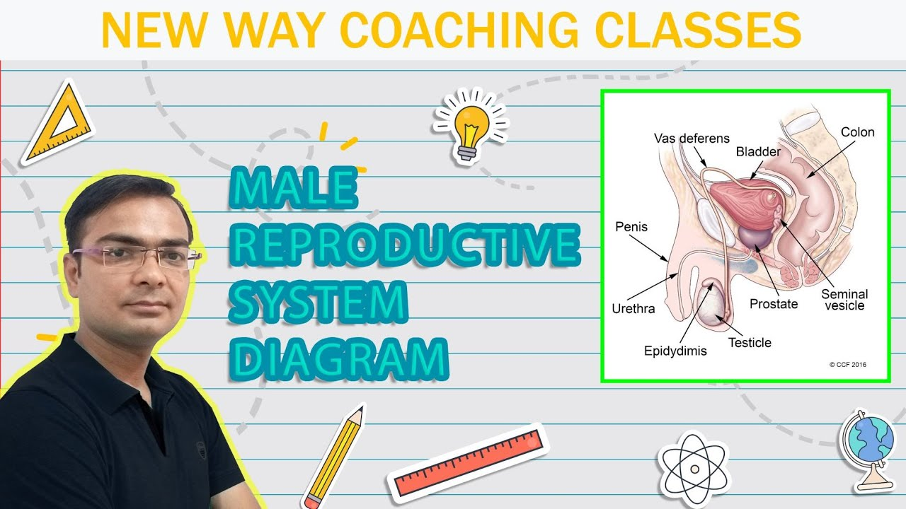 How to draw a diagram of human male reproductive system new video how to draw a diagram of human male reproductive system new video link httpsyoutuqx4a4qpouge ccuart Gallery