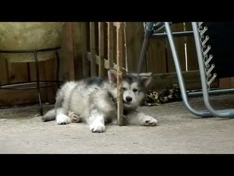 Alaskan Malamute puppy told off by her huge big brother!