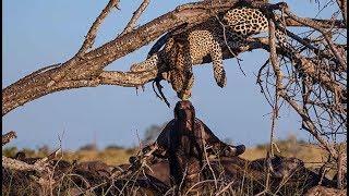 Bawoły zagoniły lamparta na drzewo i nie pozwalały mu zejść!