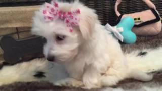 MALTESE BABY GIRL! SO CUTE!