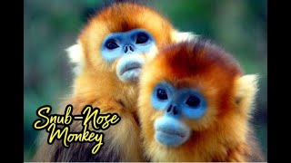 Rare Footage of 2 Golden Snub Nosed Monkeys Mating (Ocean Park HK)