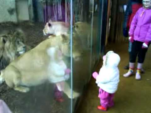 Child says hello to Lion, Lion 'says hello' back...