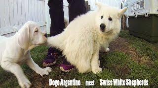 Puppies socialization (Dogo Argentino meet Swiss White Shepherds)