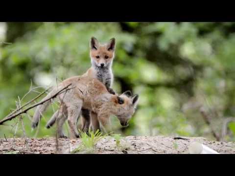 Lis / Red Fox / Vulpes vulpes - Rokickie liski cz. 1