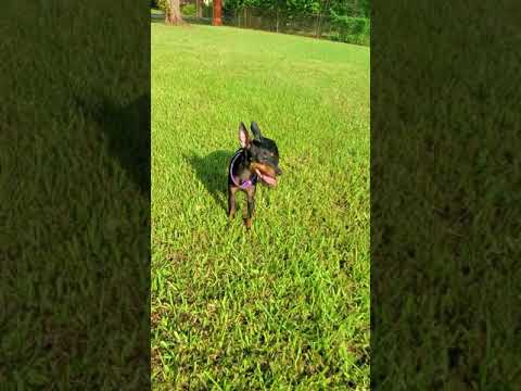 Glamorous Halsey Toy Manchester Terrier  ready for adoption
