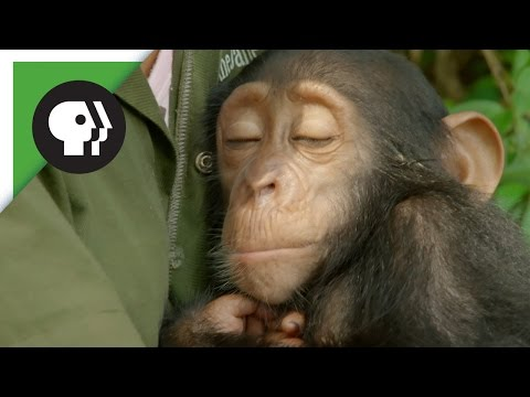 Orphaned Baby Chimp Snuggles with Caregiver