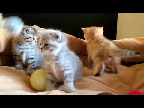 Британские котята драгоценных окрасов
