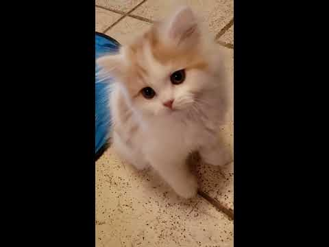 RagaMuffin kittens at 10 weeks part 2