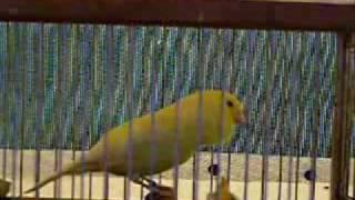 Malinua   Waterslager Malinua 2   Kanarya sesi, Muhabbet Kuşu sesi, Muhabbet kuşu videoları,muhabbet kuşu, Akvaryum balıkları,Güvercin videoları,güvercinler,lepistes,ciklet