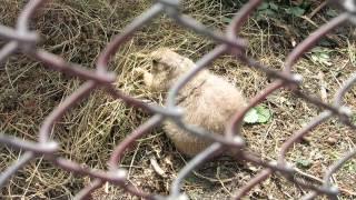 Луговые собачки в минском зоопарке.(группа вконтакте: http://vk.com/pgshelp1 сайт: https://sites.google.com/site/na5balov заказать работу: ..., 2014-07-23T16:20:25.000Z)