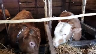 Сарай для быков