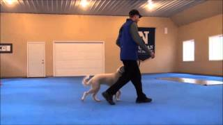 Rosie (labradoodle) Dog Training Boot Camp Video