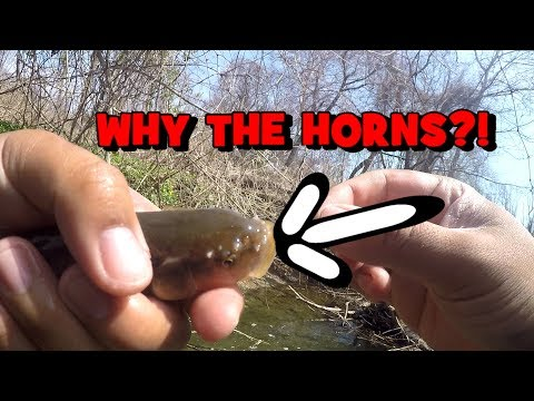 HORN ON FISHES!!! Why DO THEY HAVE IT?! (Exploring The Meadow Brook, PA)