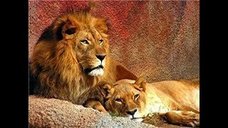 HUGE PRIDE OF LIONS || Wild Savannah Realism || Roblox