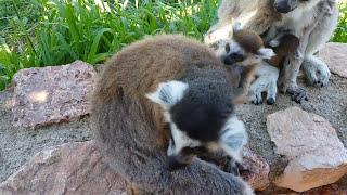 Λεμουριοι στο Αττικό Ζωολογικό Πάρκο - Zoo park in Athens