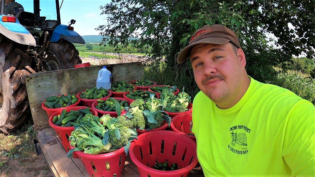 HARVESTING VEGETABLES BY HAND IN PENNSYLVANIA