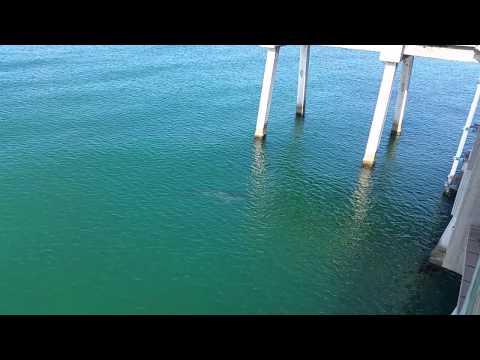 RAW: 10-foot tiger shark at Venice Pier