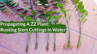 How to Propagate A ZZ Plant / Joy Us Garden