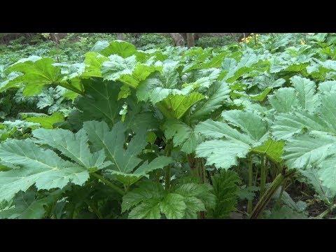 У Житомирі на боротьбу з небезпечними рослинами готові витратити 170 тисяч гривень