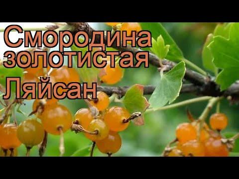 Смородина золотистая Ляйсан (ribes aureum) 🌿 Ляйсан обзор: как сажать, саженцы смородины Ляйсан