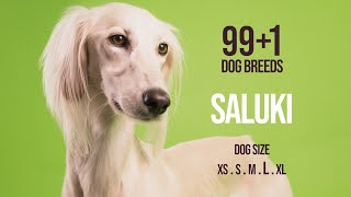 Saluki / 99+1 Dog Breeds