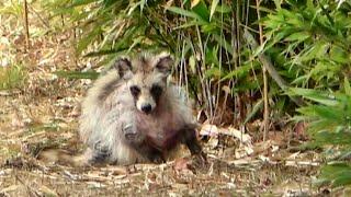 散歩の途中見つけたタヌキ⁉とヌートリア Raccoon Dog And Nutria Found During The Walk