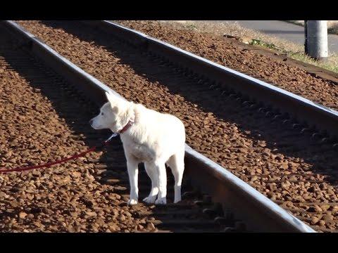 関東鉄道常総線 心の旅路 キハ2403号と白イヌ父さん 2015/01/09